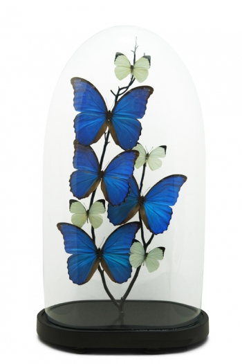 Antique Belle Butterfly Domes