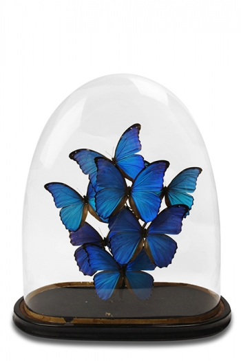 Antique Morpho Domes