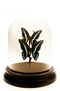 Petits Duo Butterfly Domes