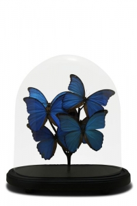 Vintage Morphos Butterfly Domes