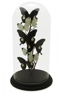 Modern Black Butterfly Domes