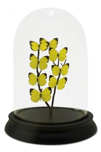 Petit Calypso Butterfly Domes